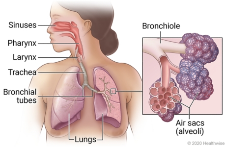 Respiratory system, showing sinuses, pharynx, larynx, trachea, bronchial tubes, and lungs, with detail of bronchiole and alveoli.