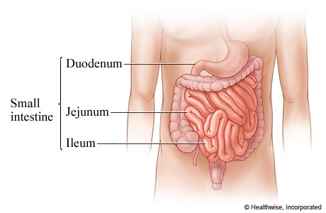 Parts of the small intestine