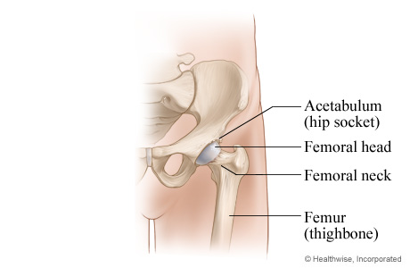 Normal hip joint